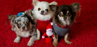 1000 chihuahuas to attend the biggest ever canine christmas party!